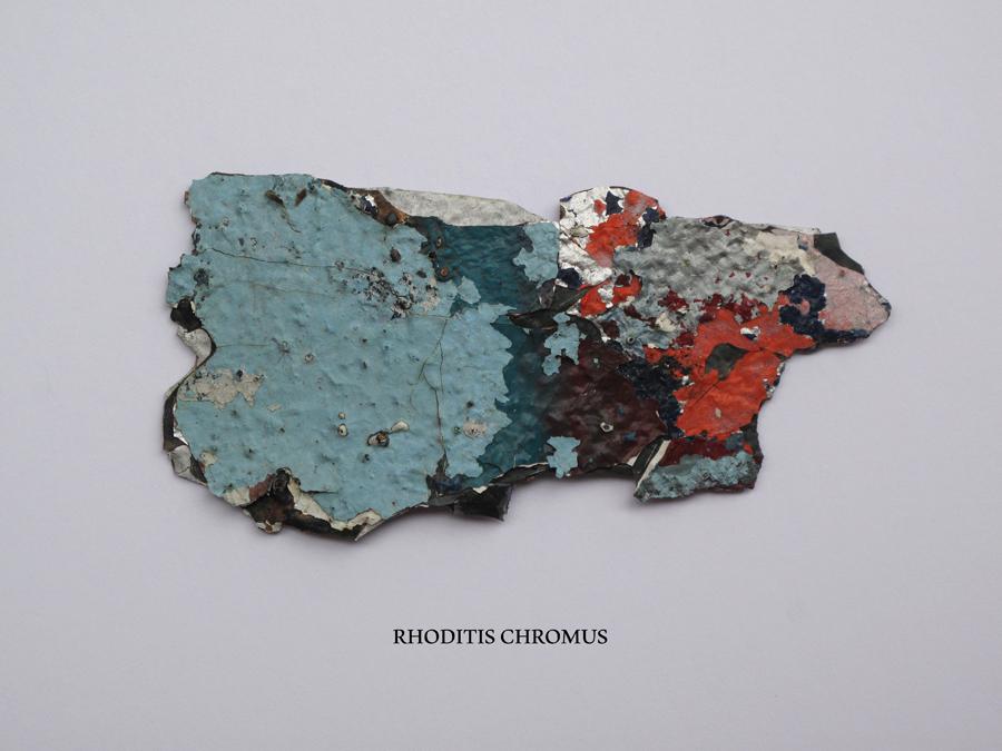 rhoditis_chromus_1
